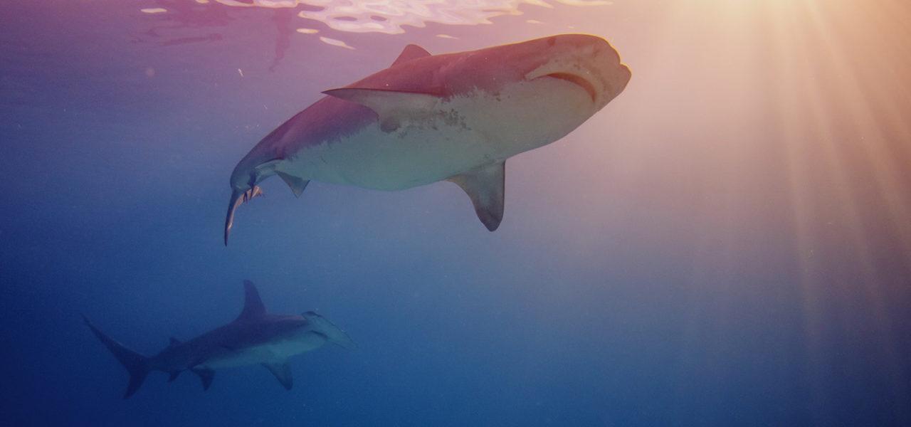 Sharks auf La Réunion