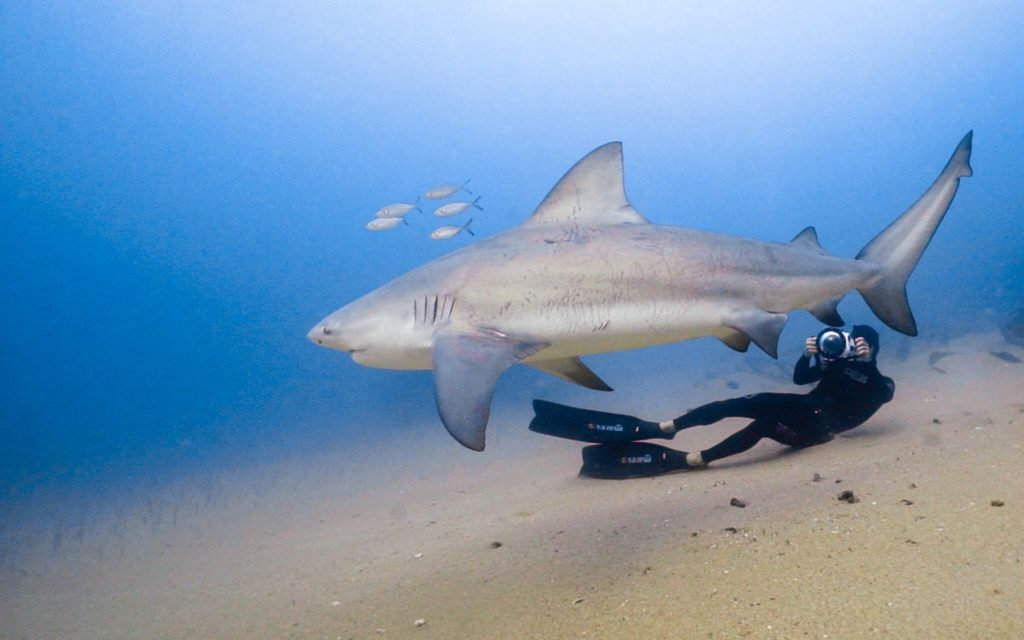 Bull Shark with a Diver
